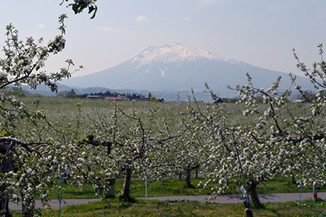 在日本最好的櫻花之後欣賞櫻花