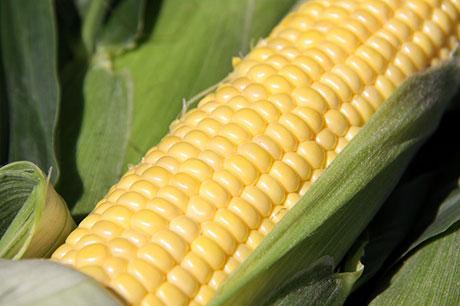 """比甜瓜"""" Maki Kimi""""甜的玉米開始在弘前市種植"""