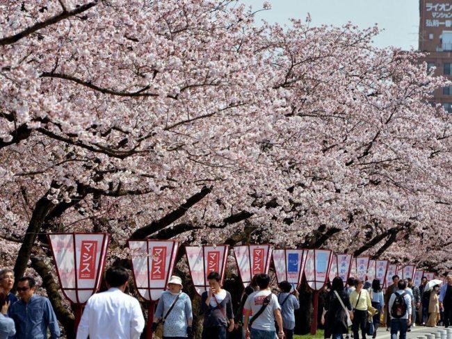 弘前公園櫻花盛開,本季首次開花