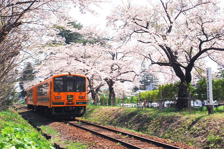 芦野公園的櫻花與津輕鐵路