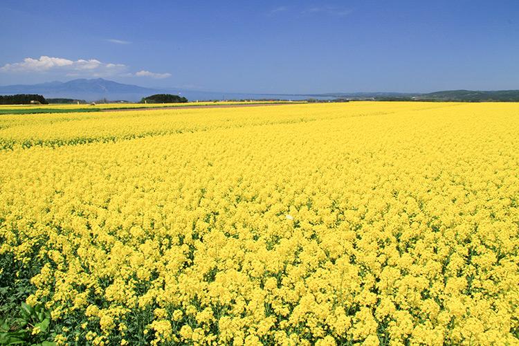 曾是人氣遊戲中的主要場景,日本第一的油菜花田