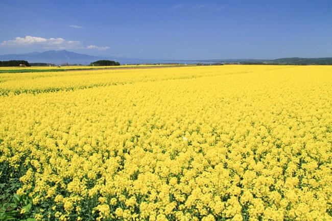 據您所見,風景被油菜花包圍!  日本最好的油菜田