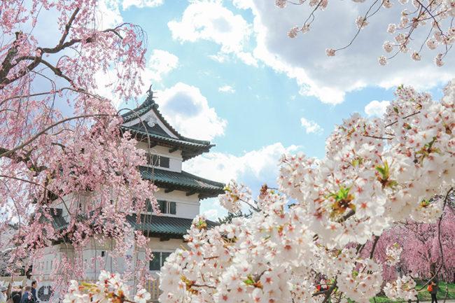 弘前市中心有2600棵櫻桃樹 欣賞四季風光