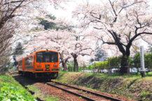 擁有100個櫻花點的公園!  您能看到火車經過櫻花隧道嗎?