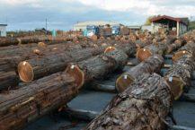 在青森縣和黑石市展出和銷售木材 出售300年的天然柏木