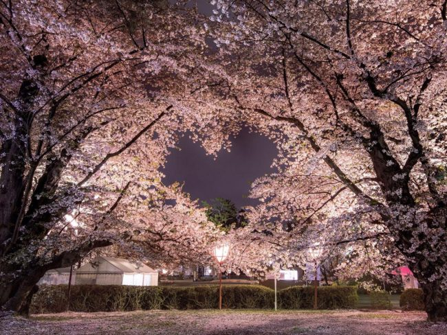 """在網上談論弘前公園的心形櫻花  """"室內花美""""提案"""