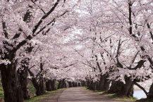 """關閉時,弘前公園的櫻花盛開  """"明年見面"""""""