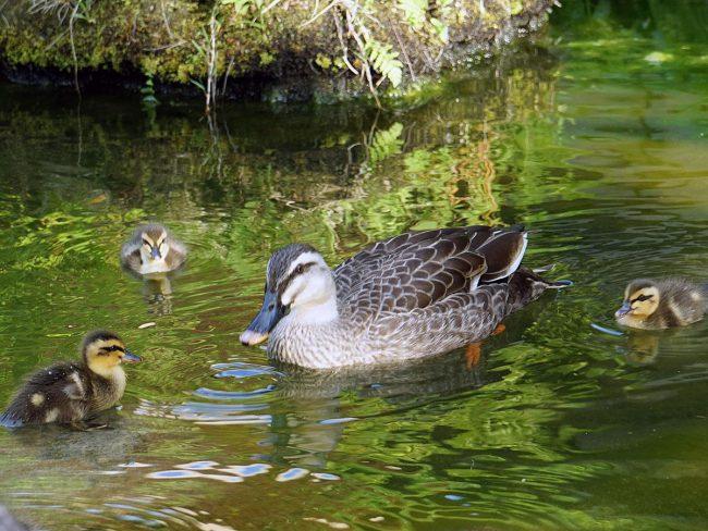 一隻斑嘴鴨的父母和孩子在弘前市的一個旅遊設施 工作人員將引導您前往安全的地方